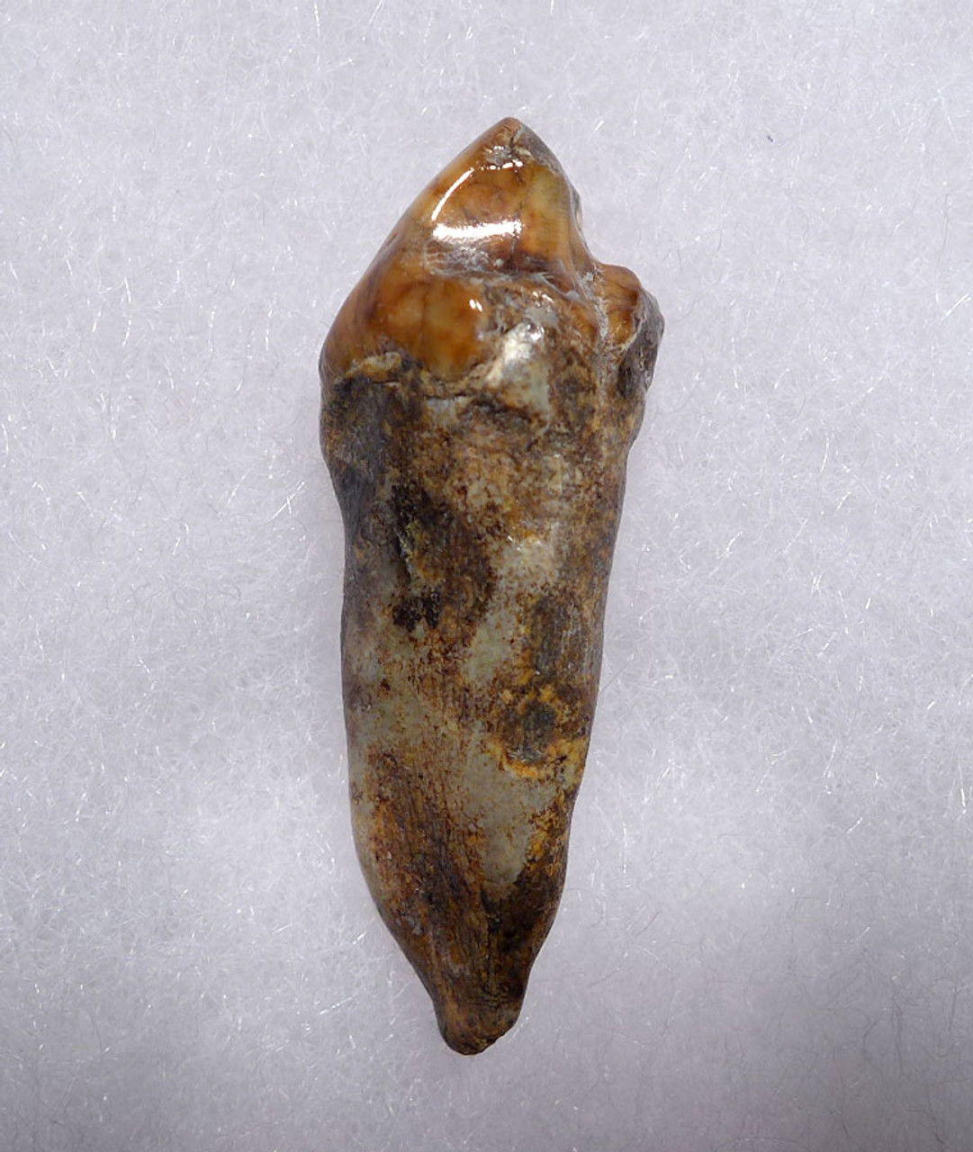COLORFUL CAVE BEAR FOSSIL TOOTH WITH ROOT FROM THE FAMOUS DRACHENHOHLE DRAGONS CAVE IN AUSTRIA *CB015