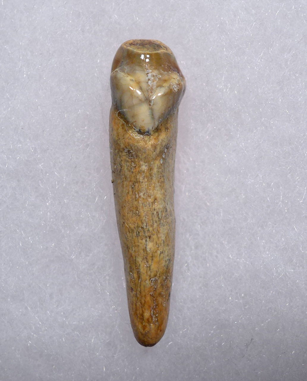 COLORFUL HIGH QUALITY CAVE BEAR FOSSIL TOOTH WITH ROOT FROM THE FAMOUS DRACHENHOHLE DRAGONS CAVE IN AUSTRIA *CB006