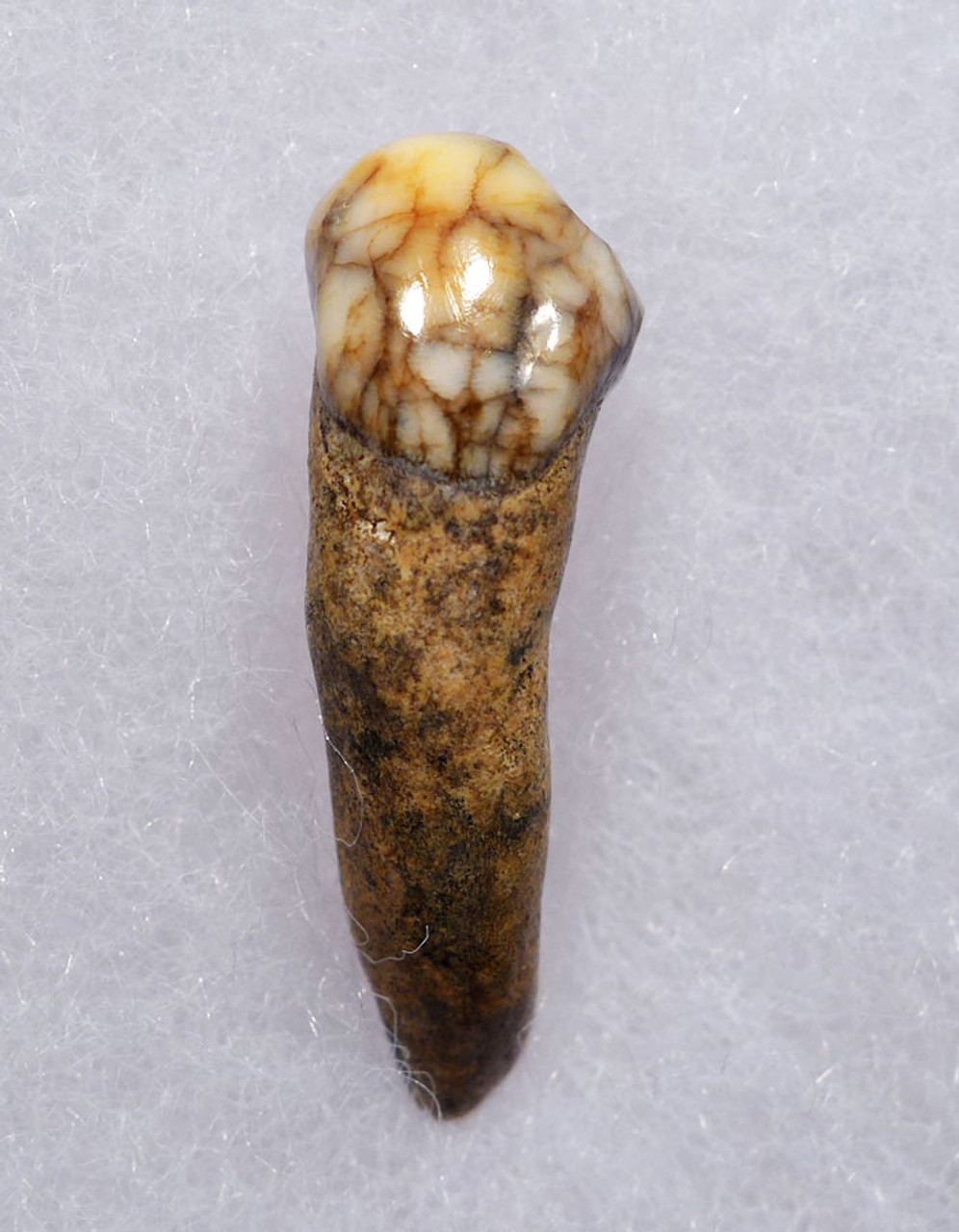 COLORFUL HIGH QUALITY CAVE BEAR FOSSIL TOOTH WITH ROOT FROM THE FAMOUS DRACHENHOHLE DRAGONS CAVE IN AUSTRIA *CB007