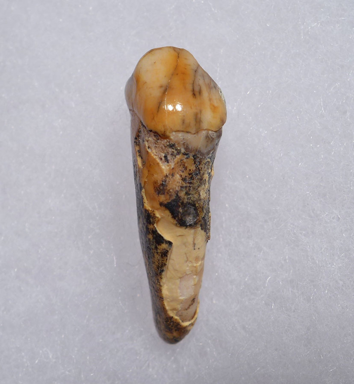 CAVE BEAR FOSSIL TOOTH WITH ROOT FROM THE FAMOUS DRACHENHOHLE DRAGONS CAVE IN AUSTRIA *CB017