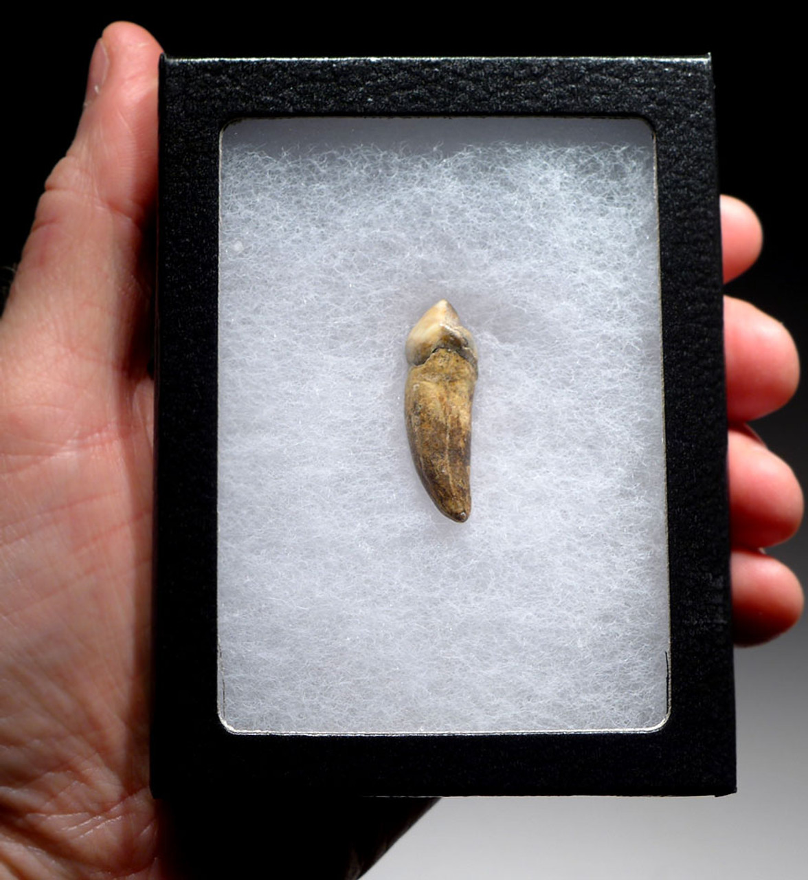 QUALITY CAVE BEAR FOSSIL TOOTH WITH ROOT FROM THE FAMOUS DRACHENHOHLE DRAGONS CAVE IN AUSTRIA *CB010
