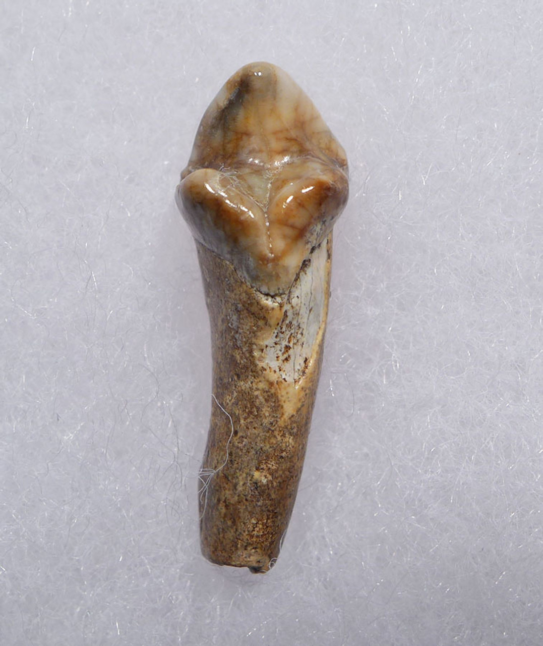 CAVE BEAR FOSSIL TOOTH WITH ROOT FROM THE FAMOUS DRACHENHOHLE DRAGONS CAVE IN AUSTRIA *CB002