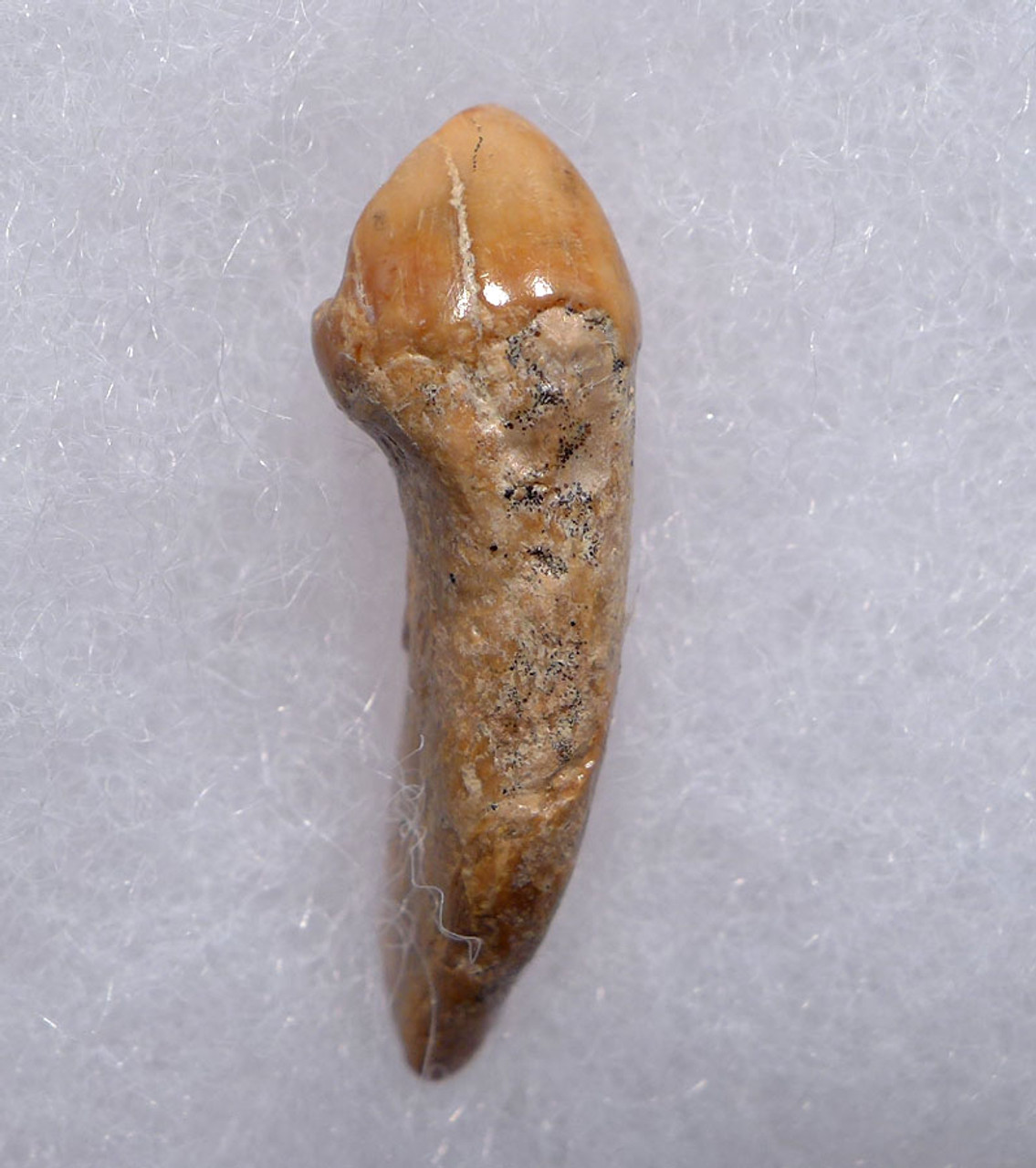 CAVE BEAR FOSSIL TOOTH WITH ROOT FROM THE FAMOUS DRACHENHOHLE DRAGONS CAVE IN AUSTRIA *CB019
