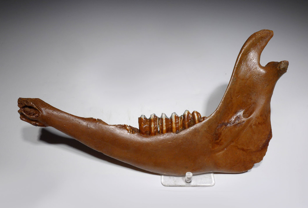 NEARLY COMPLETE EUROPEAN ICE AGE FOSSIL AUROCHS JAW WITH ORIGINAL TEETH *LMX202