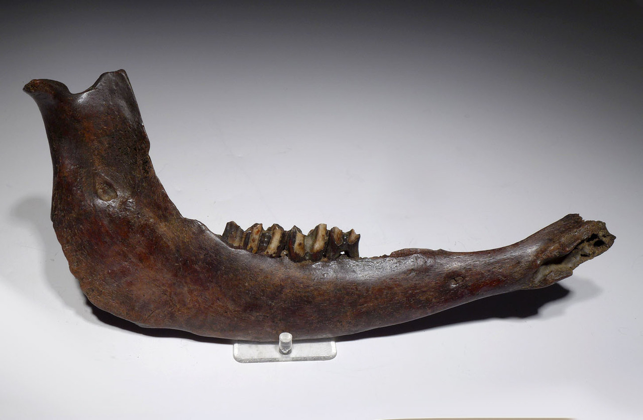 LARGE NEARLY COMPLETE EUROPEAN ICE AGE FOSSIL AUROCHS JAW WITH ORIGINAL TEETH *LMX201