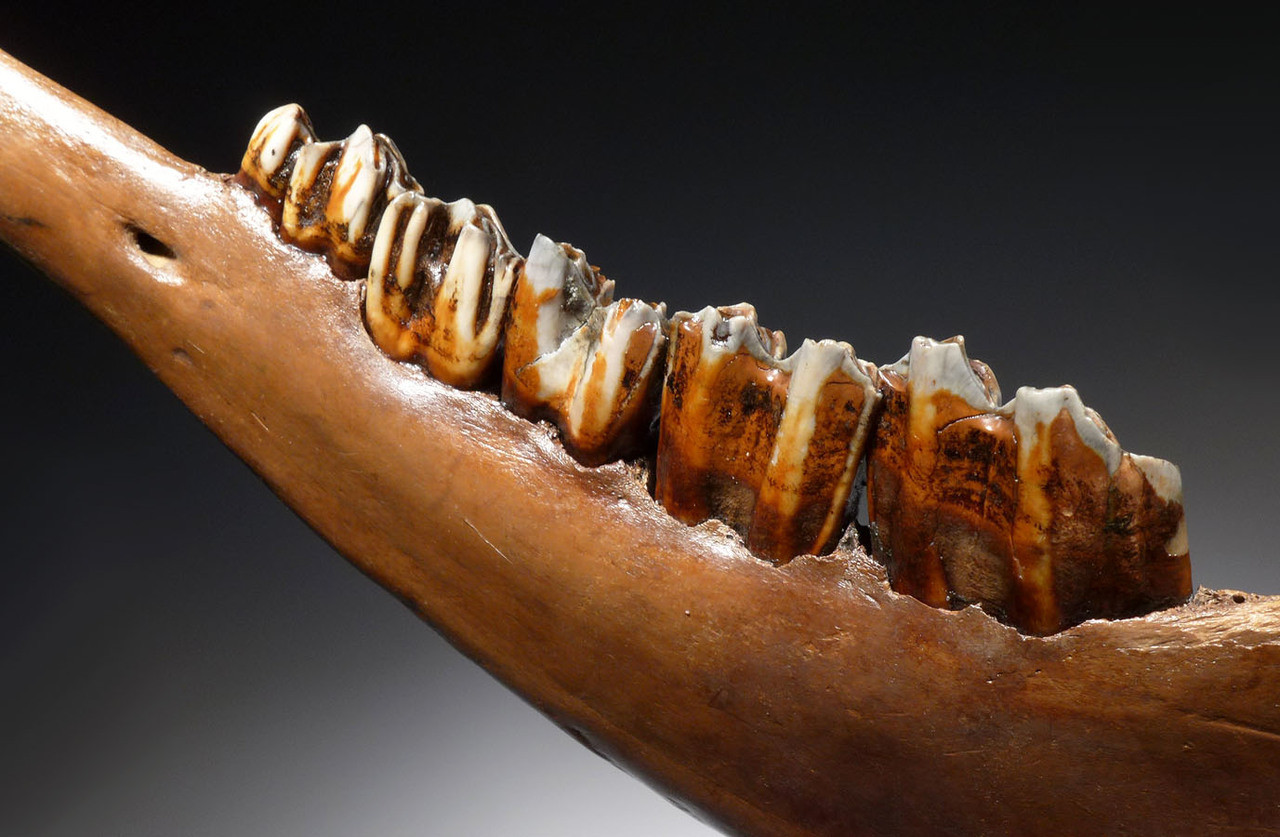 LARGE NEARLY COMPLETE EUROPEAN ICE AGE FOSSIL AUROCHS JAW WITH COMPLETE MOLAR DENTITION OF ORIGINAL TEETH *LMX200