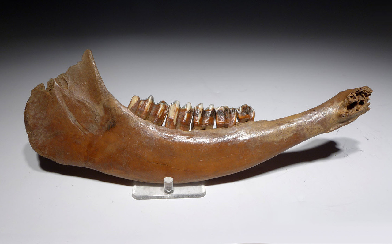 NEARLY COMPLETE EUROPEAN ICE AGE FOSSIL AUROCHS JAW WITH ORIGINAL MOLARS *LMX196X