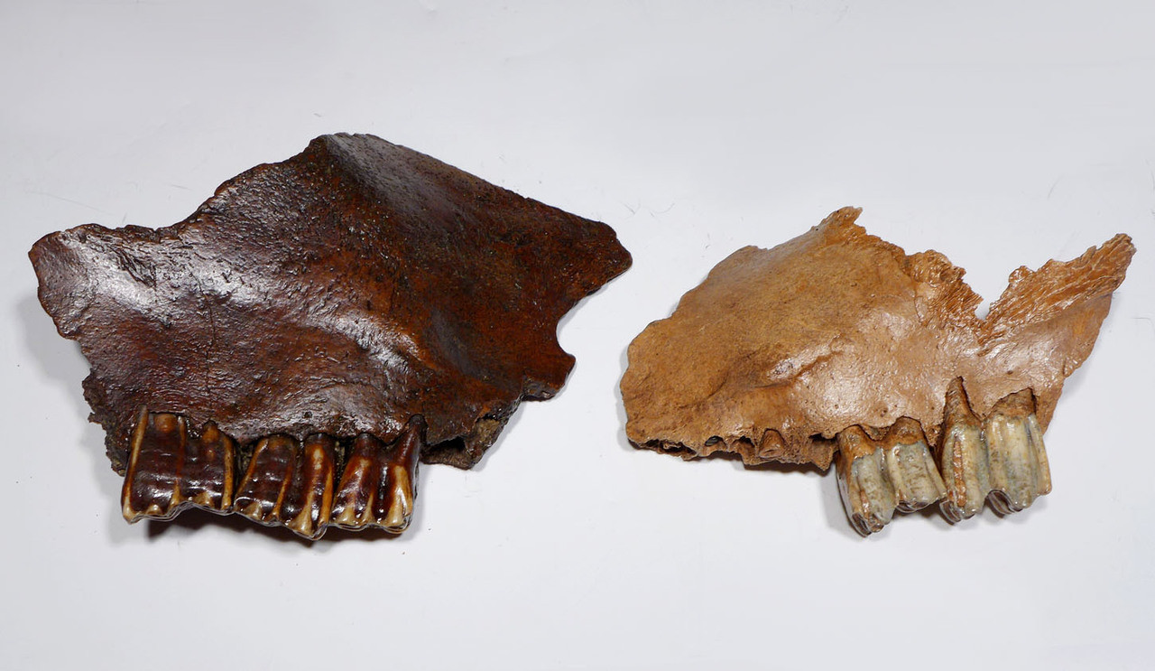 RIGHT AND LEFT PARTIAL ICE AGE FOSSIL AUROCHS MAXILLAE WITH ORIGINAL MOLARS *LMX195X