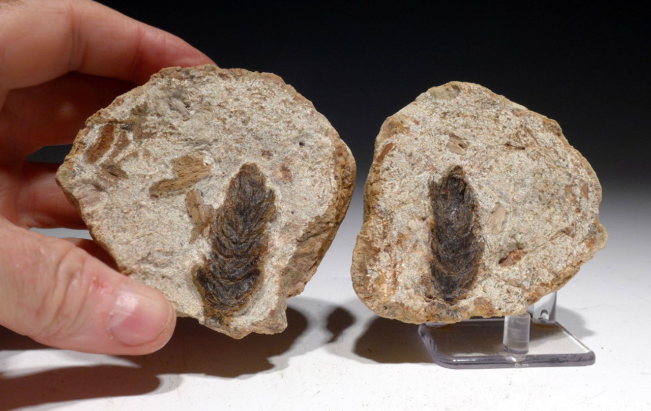 BOTH HALVES LARGE OLIGOCENE FOSSIL PINE CONE IN CONCRETION FROM BAD KREUZNACH GERMANY *PL183