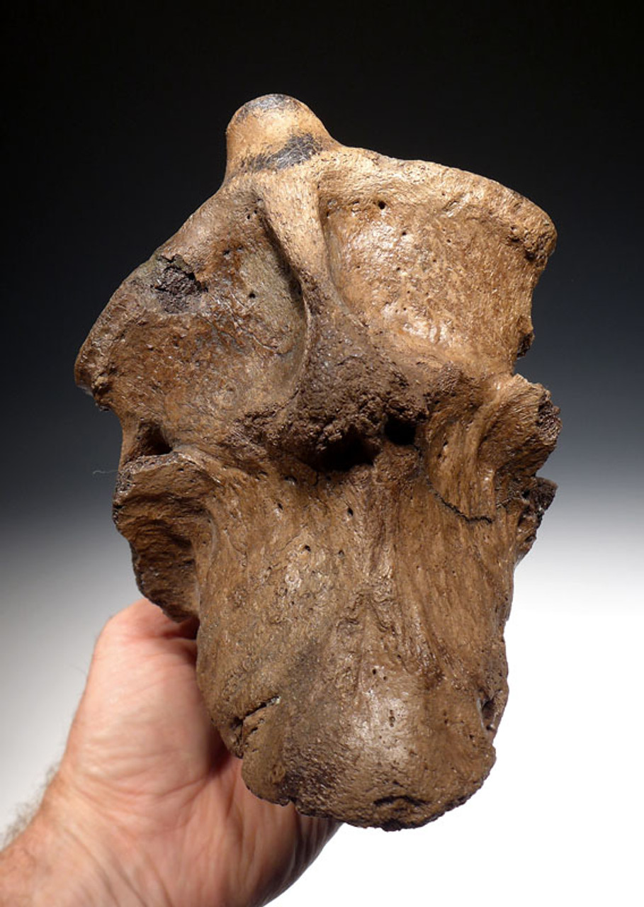 SCIENTIFICALLY PUBLISHED WOOLLY RHINOCEROS RHINO TWO FUSED NECK VERTEBRAE WITH SEVERE PATHOLOGICAL DEFORMITY *LMX110
