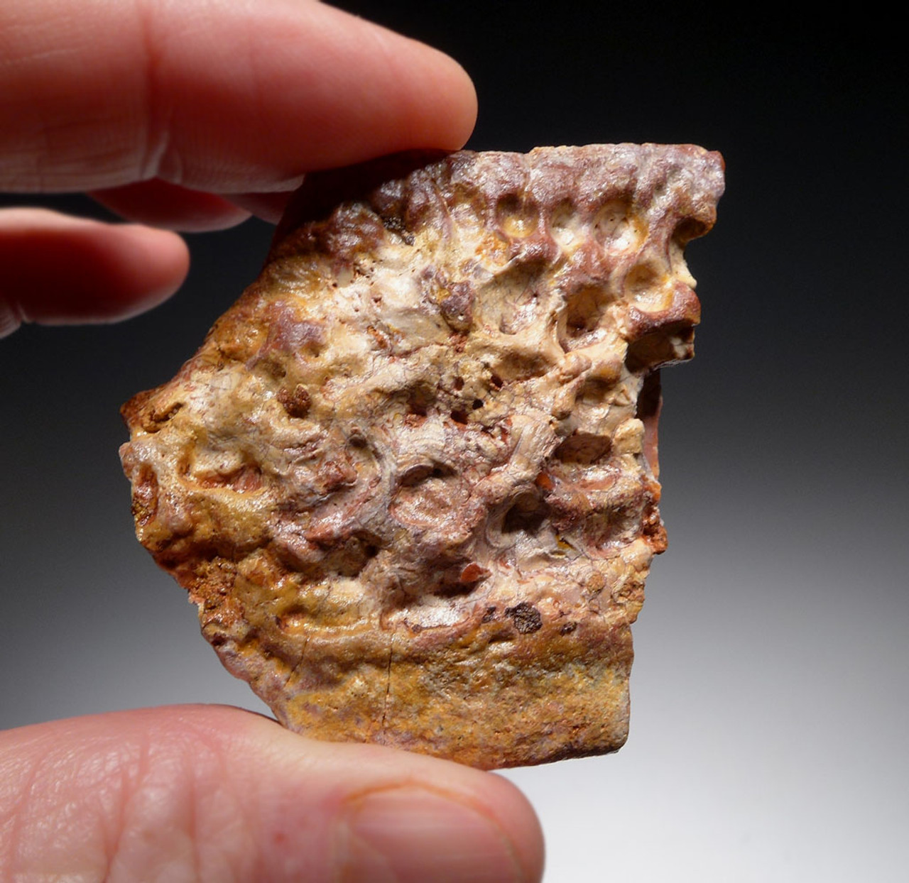 DINOSAUR-EATING CROCODILE SUPERCROC DERMAL ARMOR SCUTE FOSSIL FROM A LARGE SARCOSUCHUS IMPERATOR *CROC070