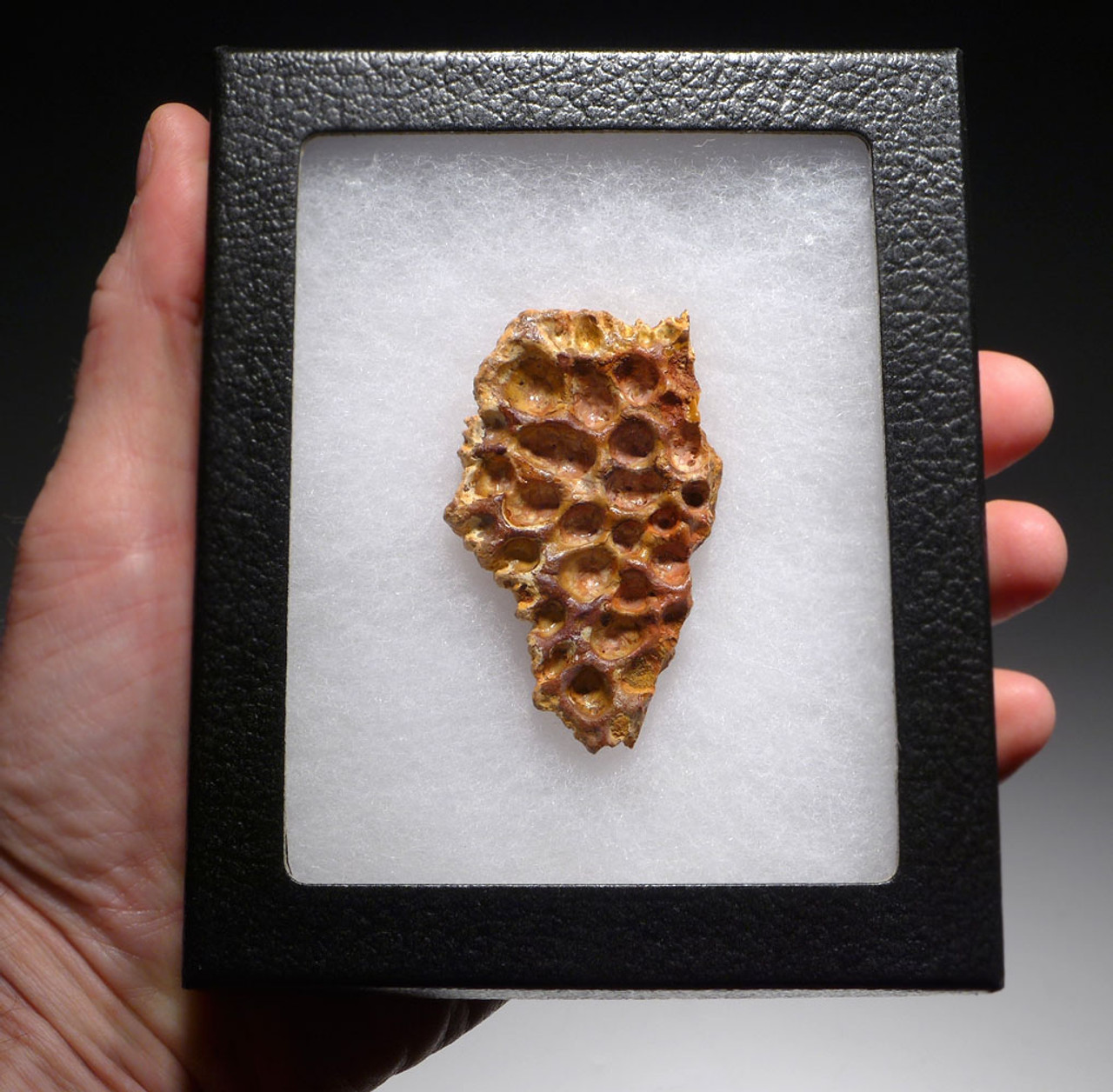 DINOSAUR-EATING CROCODILE SUPERCROC DERMAL ARMOR SCUTE FOSSIL FROM A LARGE SARCOSUCHUS IMPERATOR *CROC069