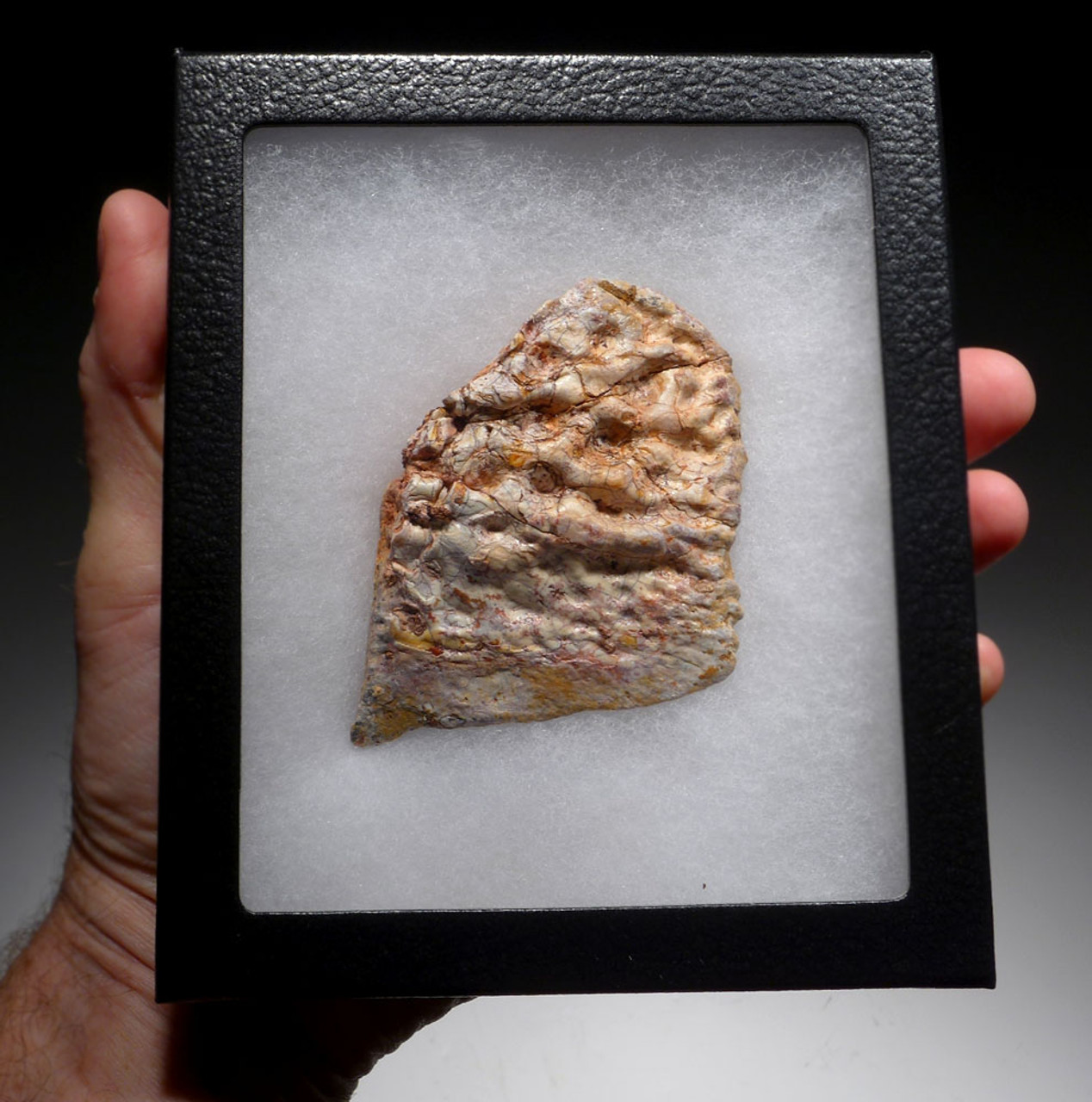 RARE LARGE PARTIAL DINOSAUR-EATING SARCOSUCHUS IMPERATOR CROCODILE DERMAL ARMOR SCUTE FOSSIL FROM A LARGE SUPERCROC  *CROC075