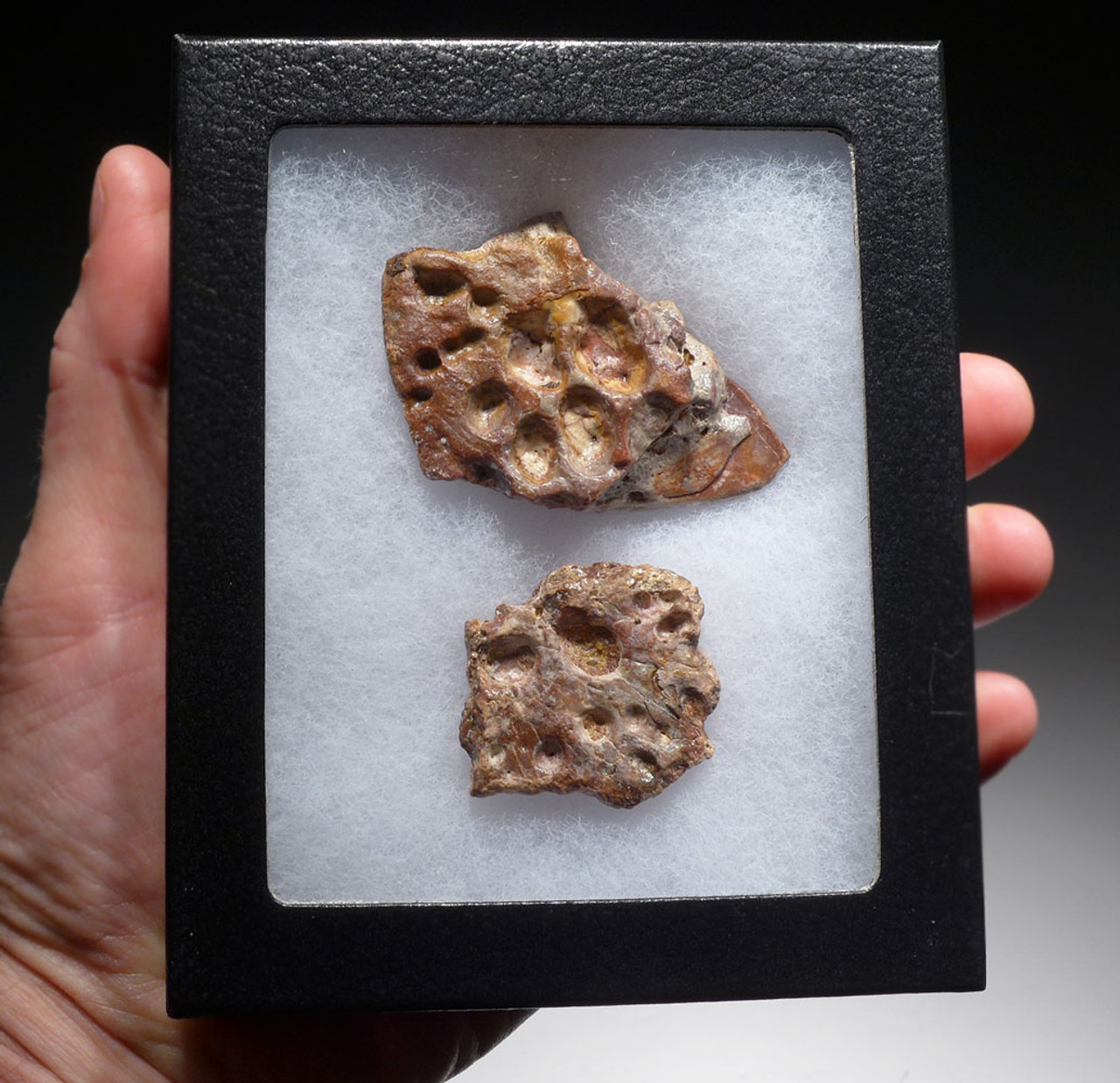 SUPERCROC DERMAL ARMOR SCUTE PIECES FROM A LARGE SARCOSUCHUS IMPERATOR CROCODILE OF THE DINOSAUR ERA *CROC076