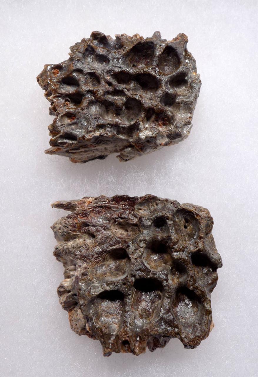 SUPERCROC DERMAL ARMOR SCUTE FOSSILS FROM A LARGE SARCOSUCHUS IMPERATOR CROCODILE OF THE DINOSAUR ERA *CROC074