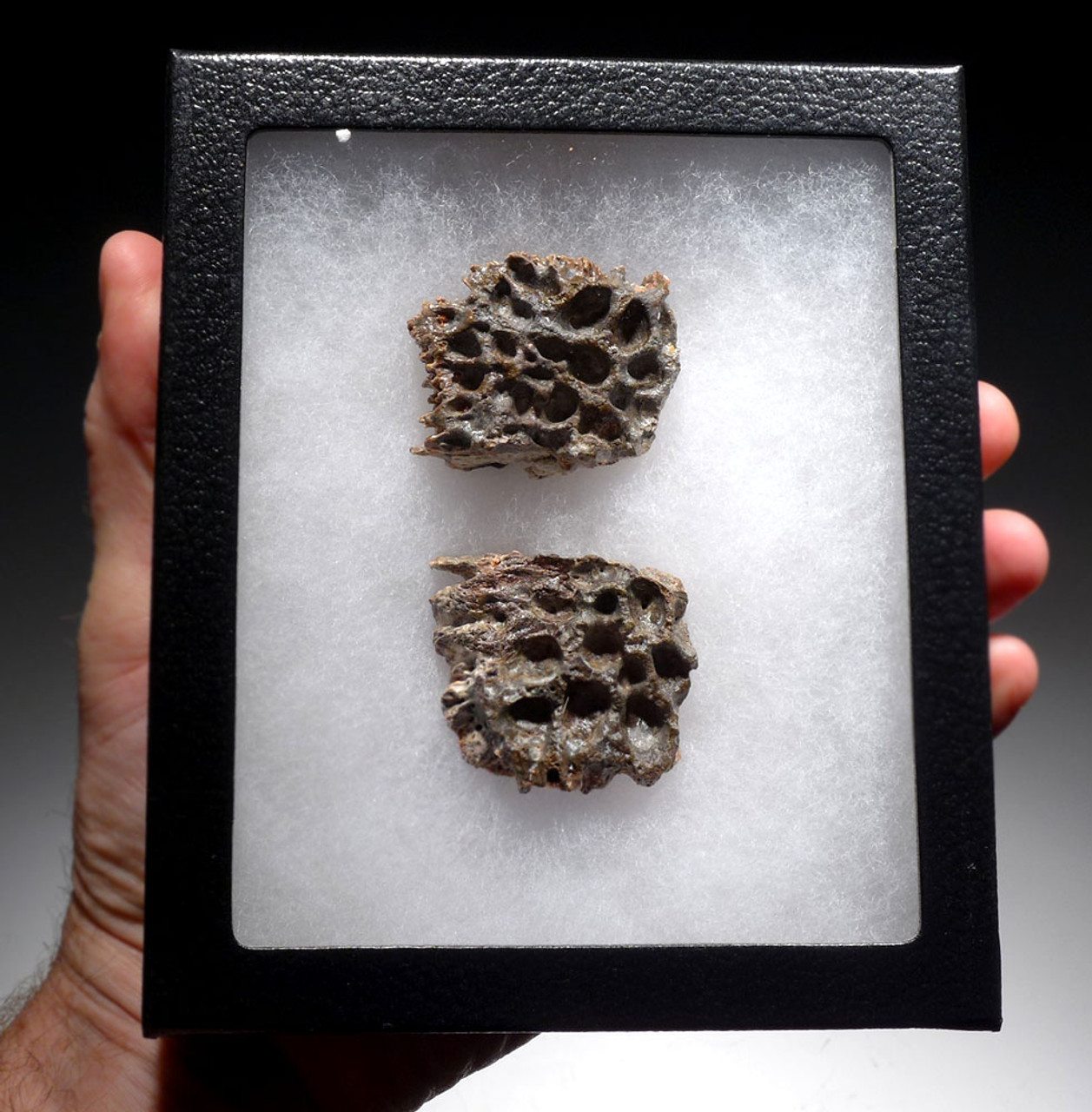 SUPERCROC DERMAL ARMOR SCUTE FOSSILS FROM A LARGE SARCOSUCHUS IMPERATOR CROCODILE OF THE DINOSAUR ERA *CROC074