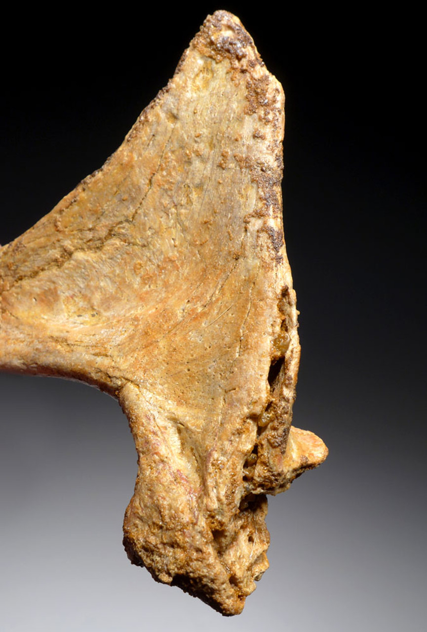 "ULTRA RARE DROMAEOSAUR FOSSIL PUBIS BONE END FROM A LARGE ""RAPTOR"" DINOSAUR OF NORTH AFRICA *DBX034"