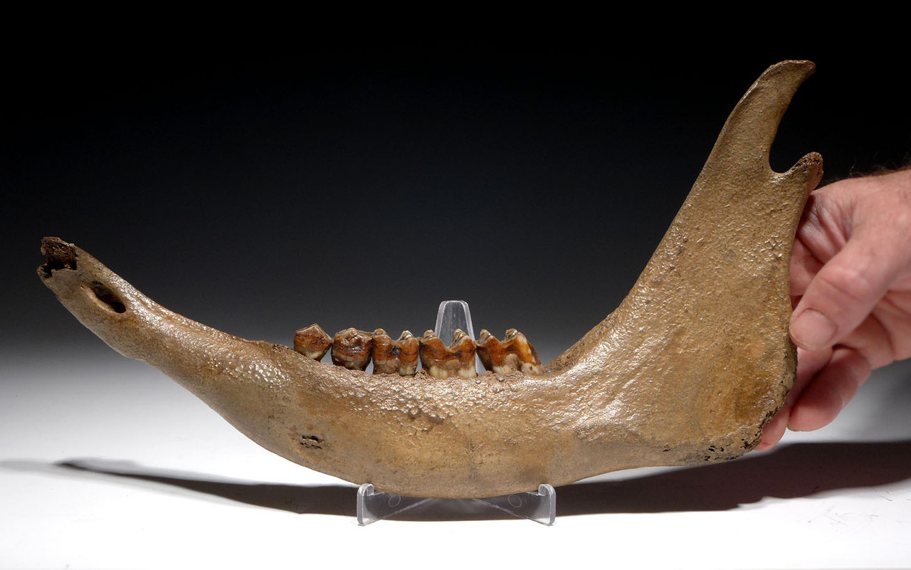 COMPLETE EUROPEAN ICE AGE FOSSIL AUROCHS JAW WITH ORIGINAL TEETH *LMX227
