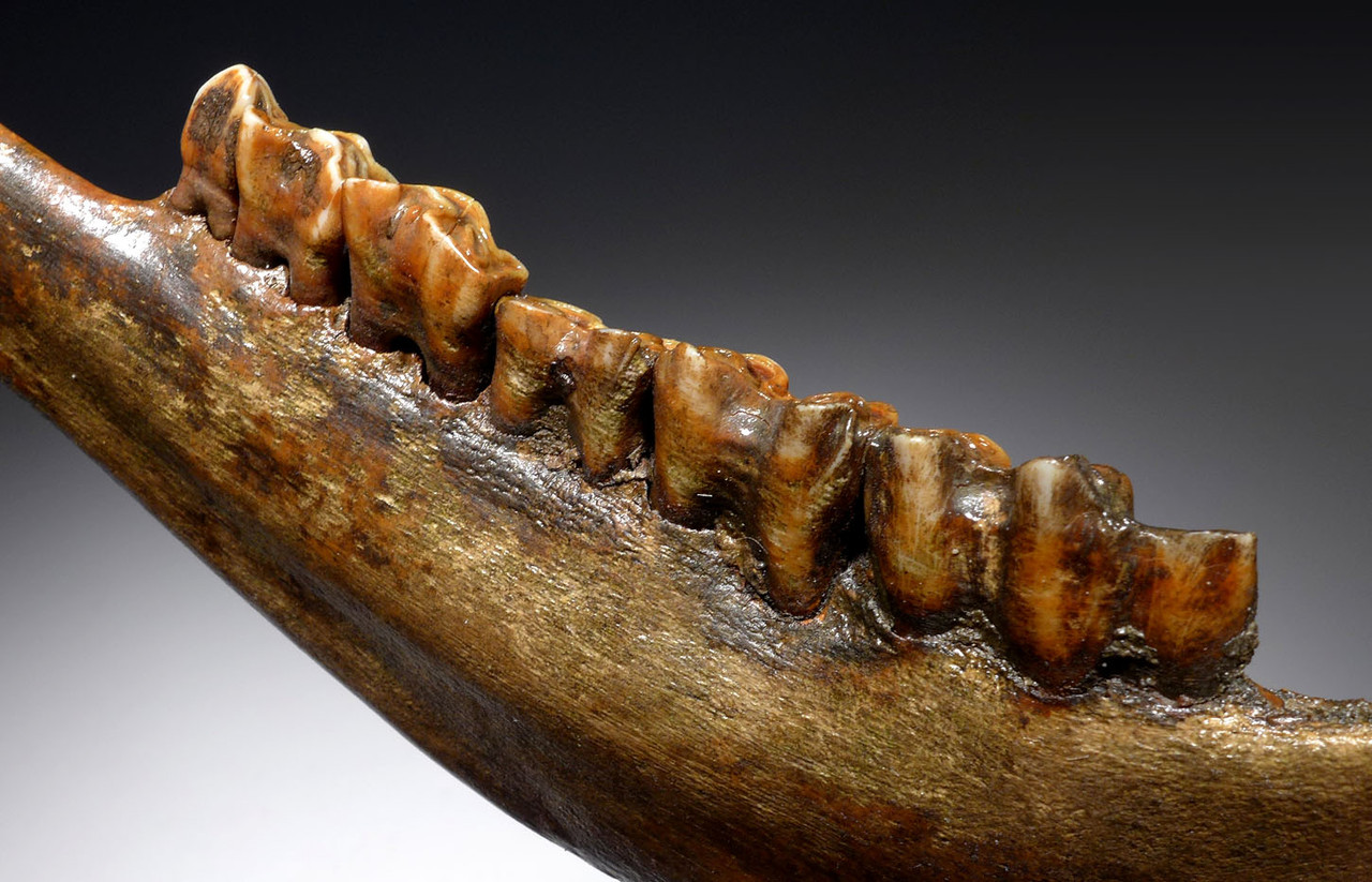 SUPERB COMPLETE EUROPEAN ICE AGE FOSSIL AUROCHS JAW WITH FULL DENTITION OF ORIGINAL TEETH *LMX224