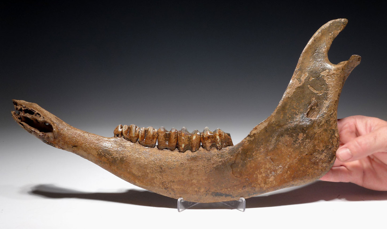 LARGE COMPLETE EUROPEAN ICE AGE FOSSIL AUROCHS JAW WITH FULL DENTITION OF ORIGINAL TEETH *LMX229