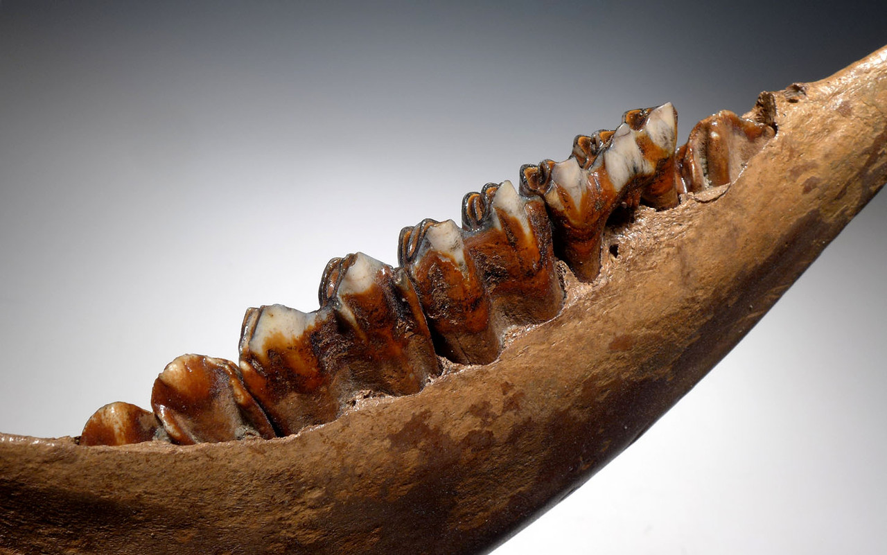 LARGE COMPLETE EUROPEAN ICE AGE FOSSIL AUROCHS JAW WITH FULL DENTITION OF ORIGINAL TEETH *LMX225