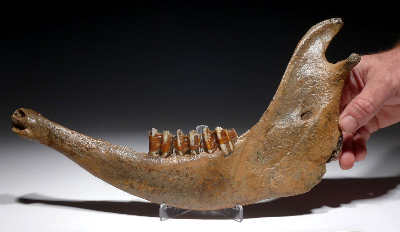CHOICE PRESERVATION EUROPEAN ICE AGE FOSSIL AUROCHS JAW WITH ORIGINAL MOLARS *LMX223