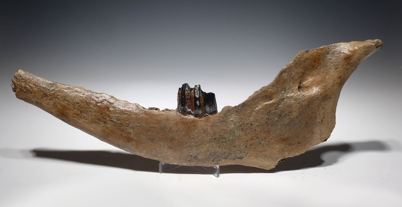 HUGE EUROPEAN ICE AGE STEPPE WISENT BISON PRISCUS FOSSIL JAW WITH HUGE ORIGINAL MOLAR TOOTH *LMX230