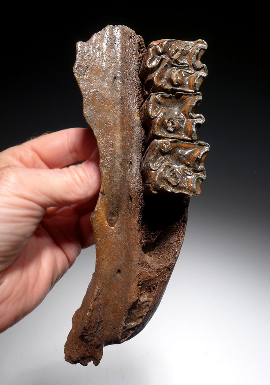 FOSSIL MAXILLA OF A EUROPEAN ICE AGE STEPPE WISENT BISON PRISCUS WITH ORIGINAL MOLAR TEETH *LMX219