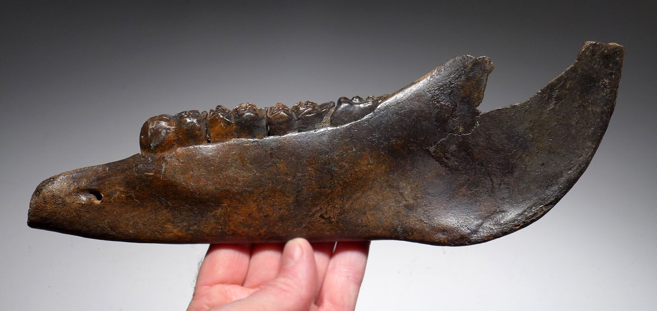 ICE AGE PONY HORSE JAW FOSSIL MANDIBLE WITH COMPLETE ARRAY OF ORIGINAL MOLAR TEETH *LMX214