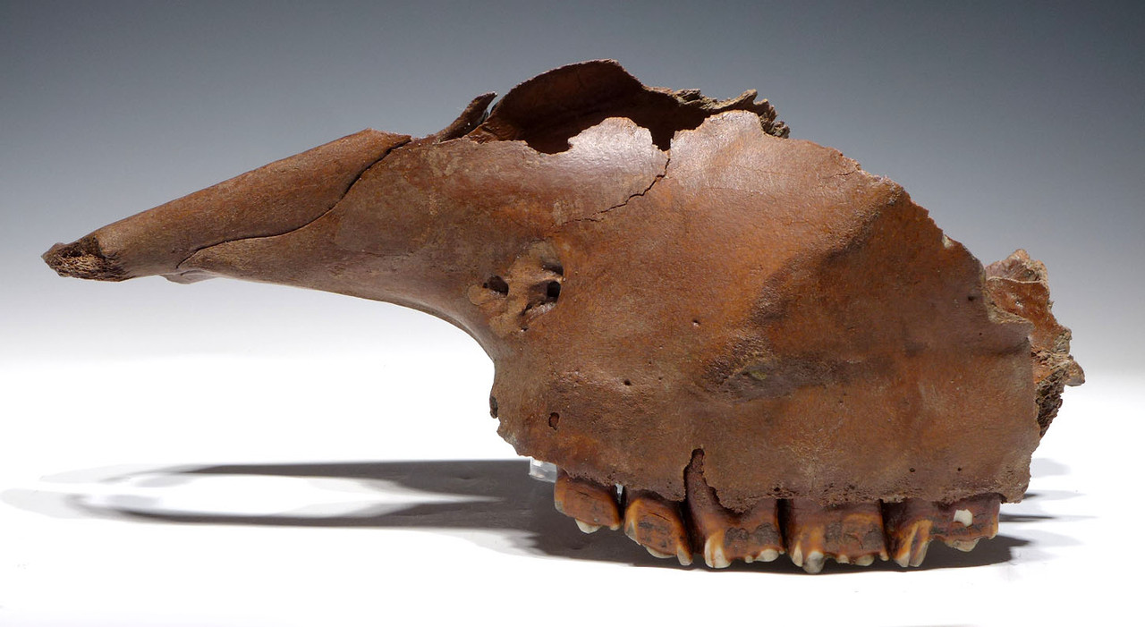 STEPPE WISENT BISON PRISCUS SKULL