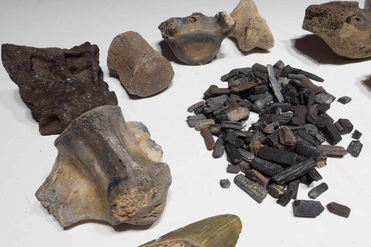 COLLECTION OF NUMEROUS SHARK AND OTHER VERTEBRATE FOSSILS FROM THE FAMOUS BONE VALLEY FORMATION *BONEVAL1