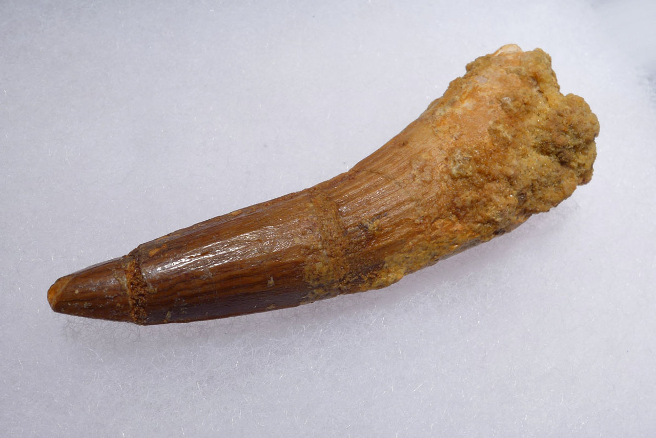 INEXPENSIVE 3.25 INCH SPINOSAURUS DINOSAUR FOSSIL TOOTH *DT5-406