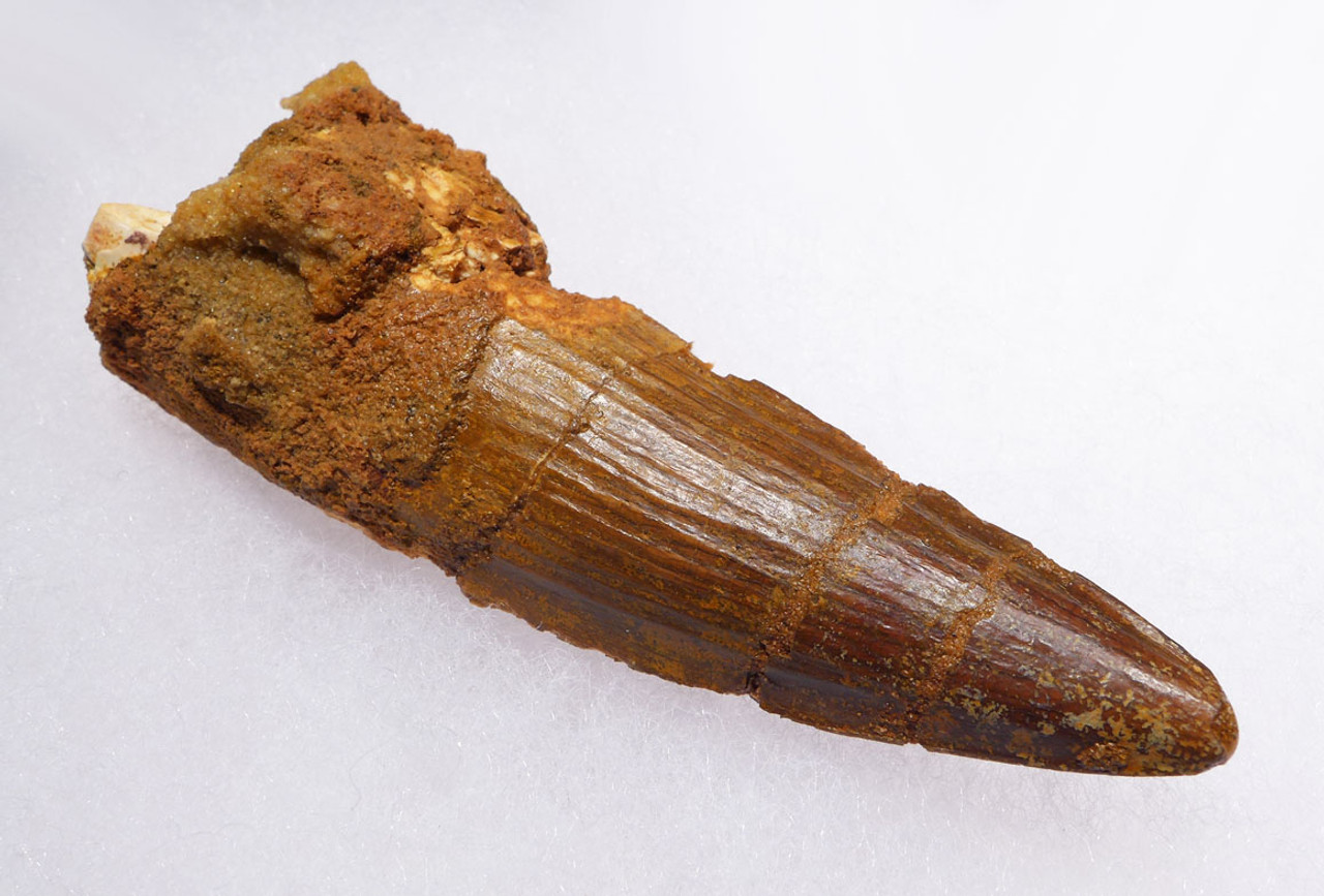 LARGE 3.5 INCH SPINOSAURUS DINOSAUR FOSSIL TOOTH *DT5-408