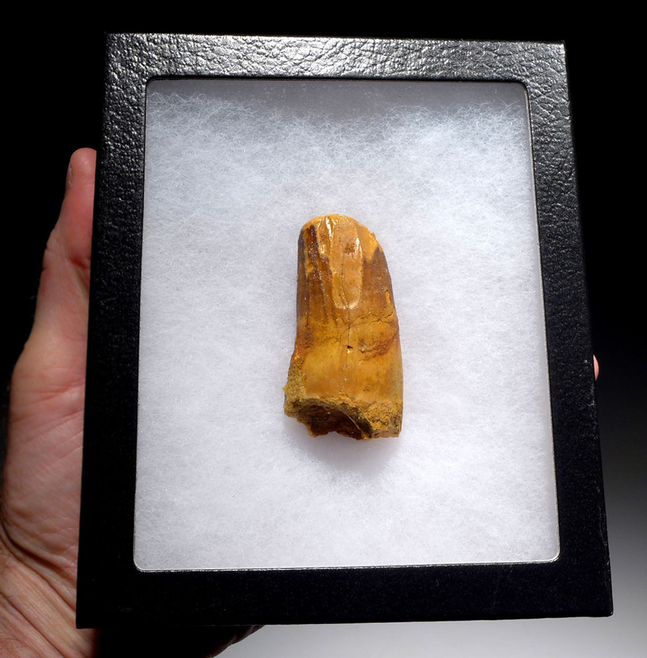 FAT SPINOSAURUS FOSSIL TOOTH WITH HEAVY FEEDING WEAR FROM A HUGE DINOSAUR  *DT5-410