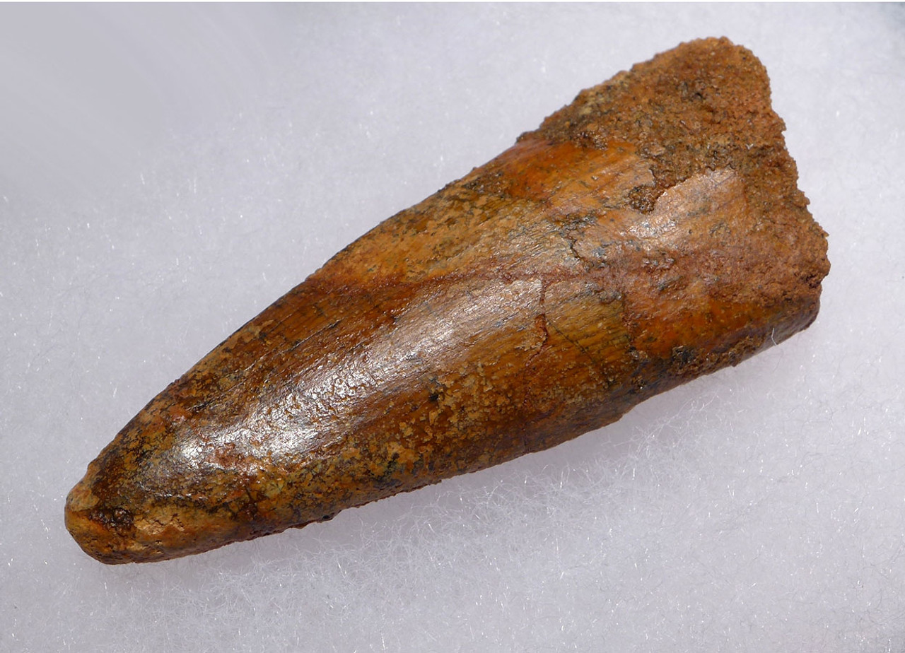 2.4 INCH SPINOSAURUS DINOSAUR FOSSIL TOOTH SLIGHTLY FLATTENED FROM PRESSURE IN BURIAL *DT5-412
