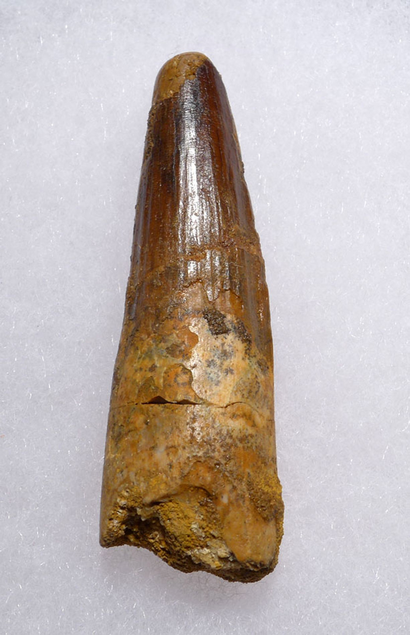 BEAUTIFUL SPINOSAURUS DINOSAUR 2.25 INCH FOSSIL TOOTH WITH LUSTROUS ENAMEL *DT5-416