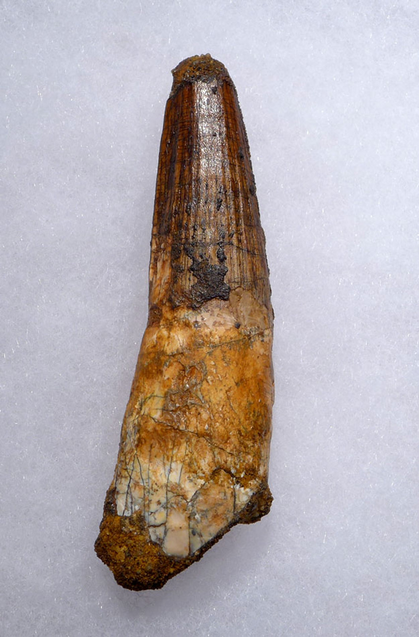 FINE QUALITY LARGE SPINOSAURUS 3 INCH DINOSAUR FOSSIL TOOTH *DT5-439
