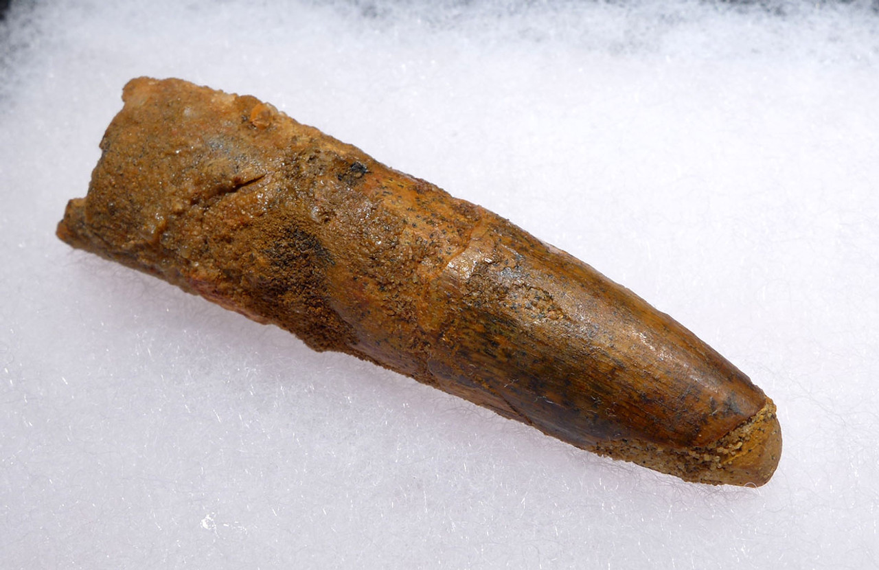 2.65 INCH QUALITY SPINOSAURUS DINOSAUR FOSSIL TOOTH *DT5-441