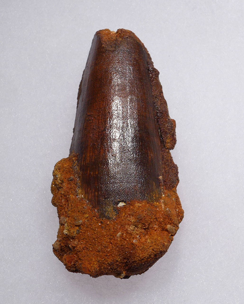 LARGE 2.5 INCH SPINOSAURUS DINOSAUR FOSSIL TOOTH WITH FEEDING WEAR *DT5-431