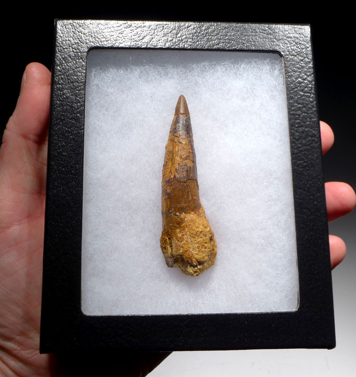 INEXPENSIVE 3 INCH SPINOSAURUS DINOSAUR FOSSIL TOOTH WITH SHARP TIP *DT5-430