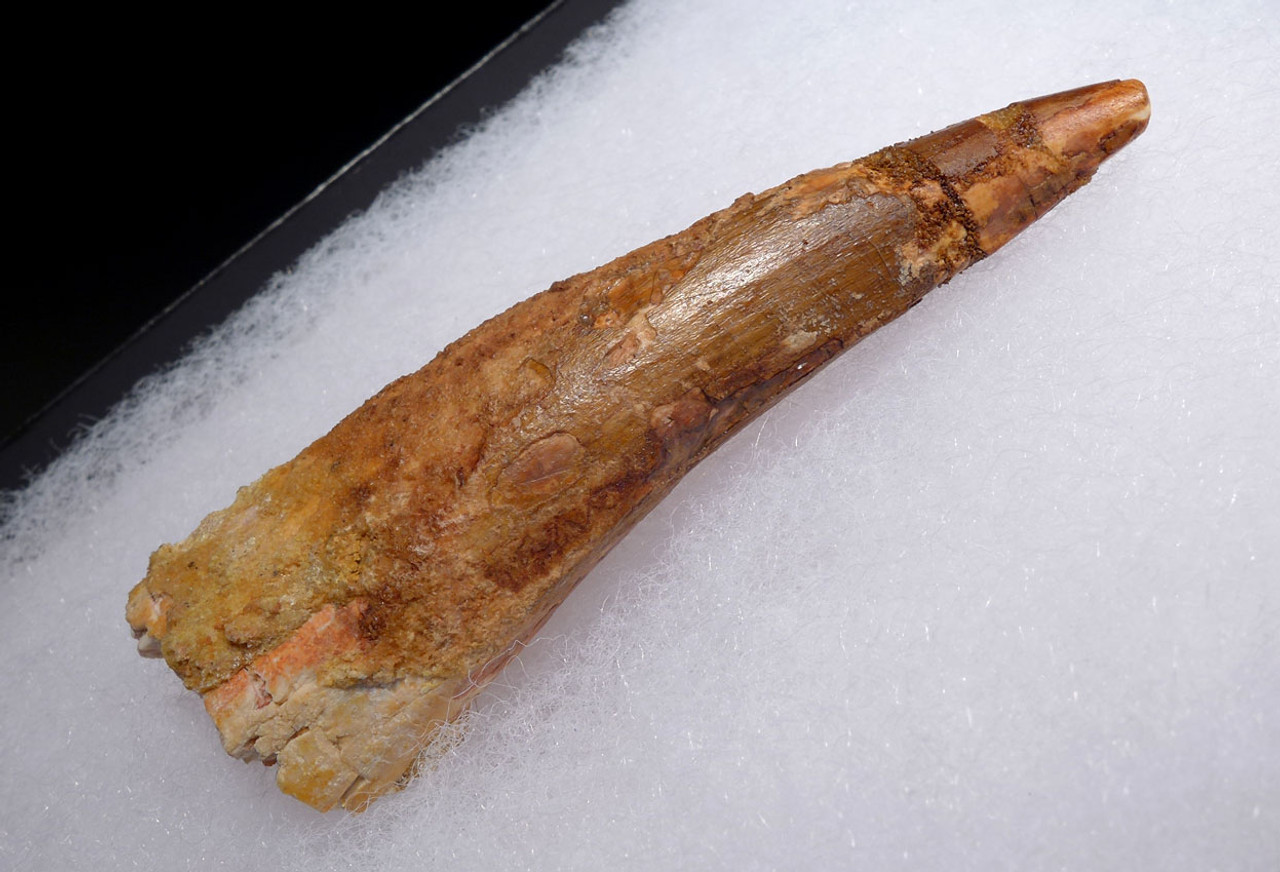 LARGE INEXPENSIVE 3 INCH SPINOSAURUS DINOSAUR FOSSIL TOOTH *DT5-434