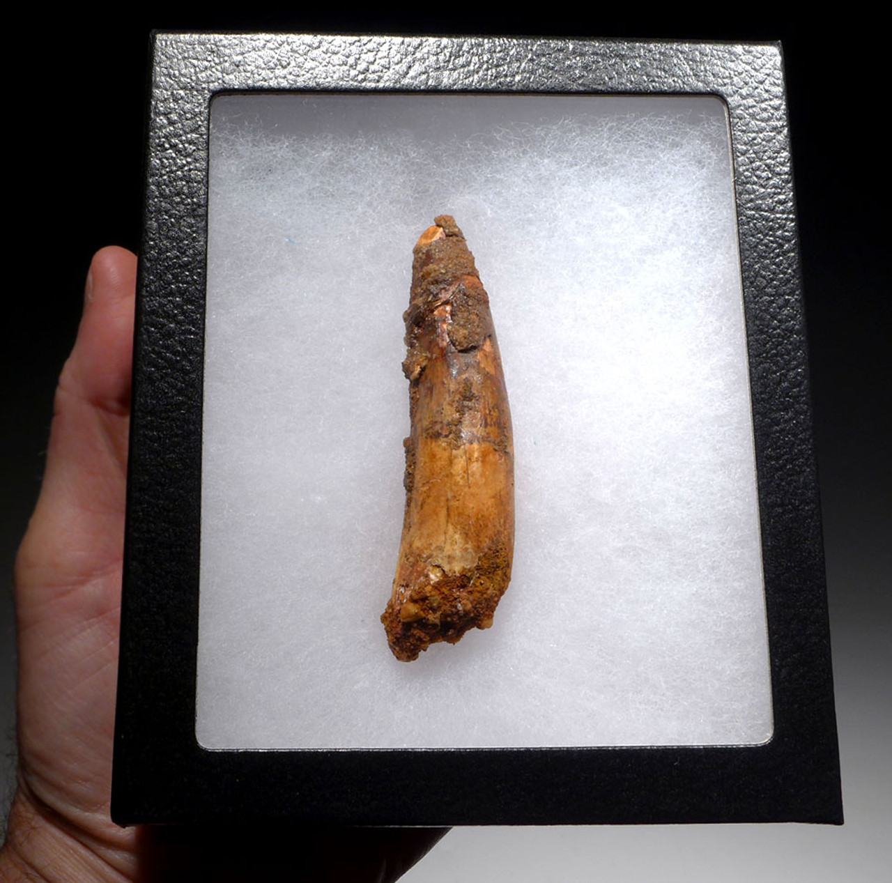 VERY LARGE AFFORDABLE 3.5 INCH SPINOSAURUS DINOSAUR FOSSIL TOOTH *DT5-433