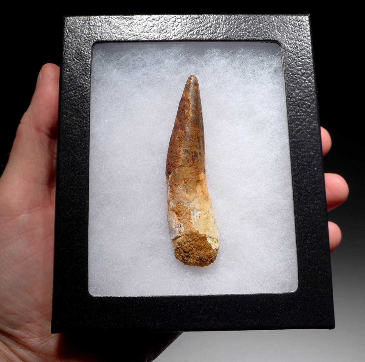 INEXPENSIVE 3.25 INCH SPINOSAURUS DINOSAUR FOSSIL TOOTH *DT5-429
