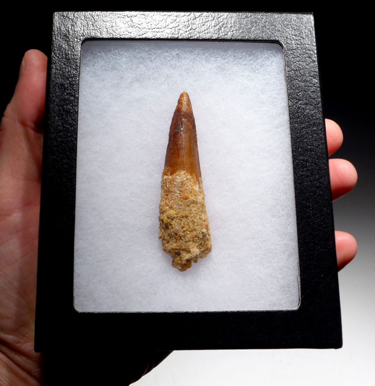 2.75 INCH INEXPENSIVE SPINOSAURUS DINOSAUR FOSSIL TOOTH WITH SHARP TIP *DT5-422