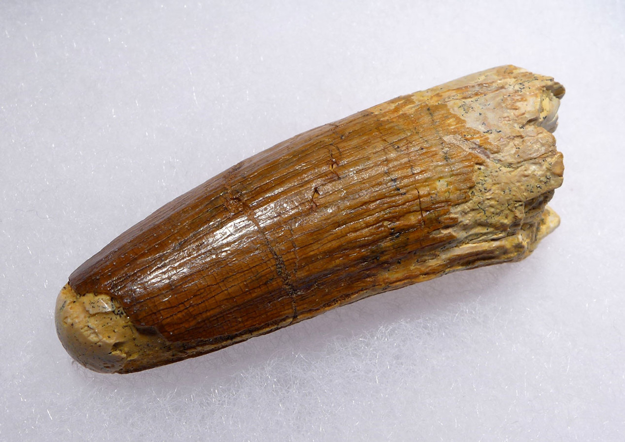 NICE SPINOSAURUS DINOSAUR 2.25 INCH FOSSIL TOOTH WITH LUSTROUS ENAMEL *DT5-432