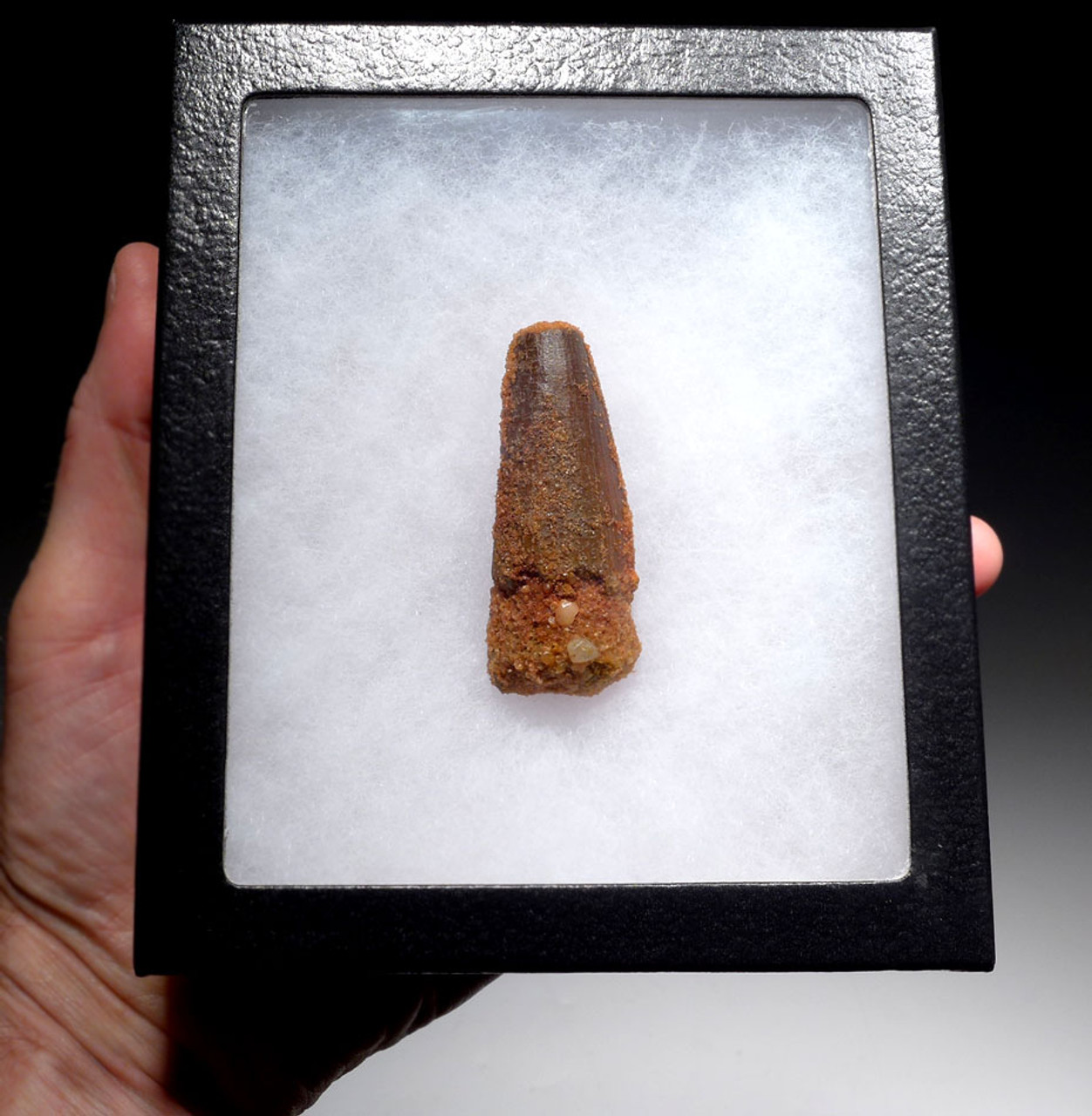 AFFORDABLE 2.4 INCH SPINOSAURUS GENUINE DINOSAUR FOSSIL TOOTH *DT5-424