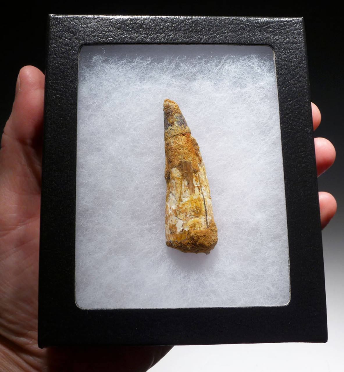 2.5 INCH INEXPENSIVE SPINOSAURUS DINOSAUR FOSSIL TOOTH *DT5-428