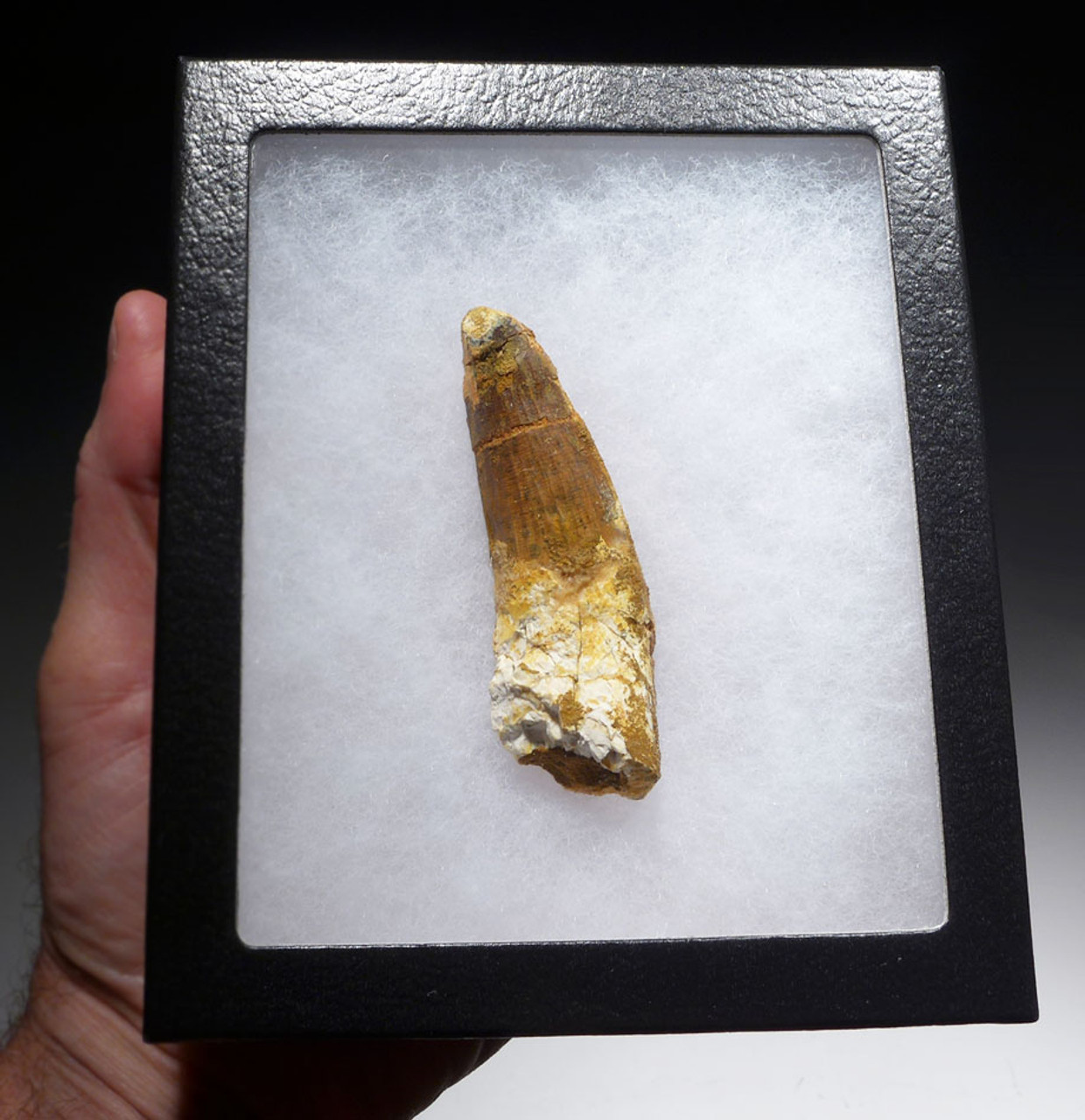 LARGE INEXPENSIVE 3.25 INCH SPINOSAURUS DINOSAUR FOSSIL TOOTH *DT5-440