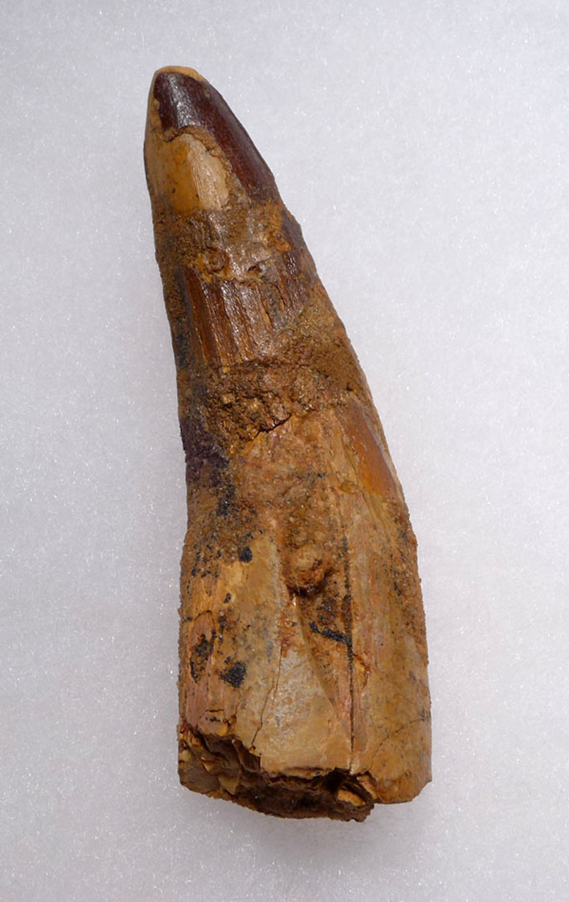 LARGE AFFORDABLE 3.3 INCH SPINOSAURUS DINOSAUR FOSSIL TOOTH *DT5-409