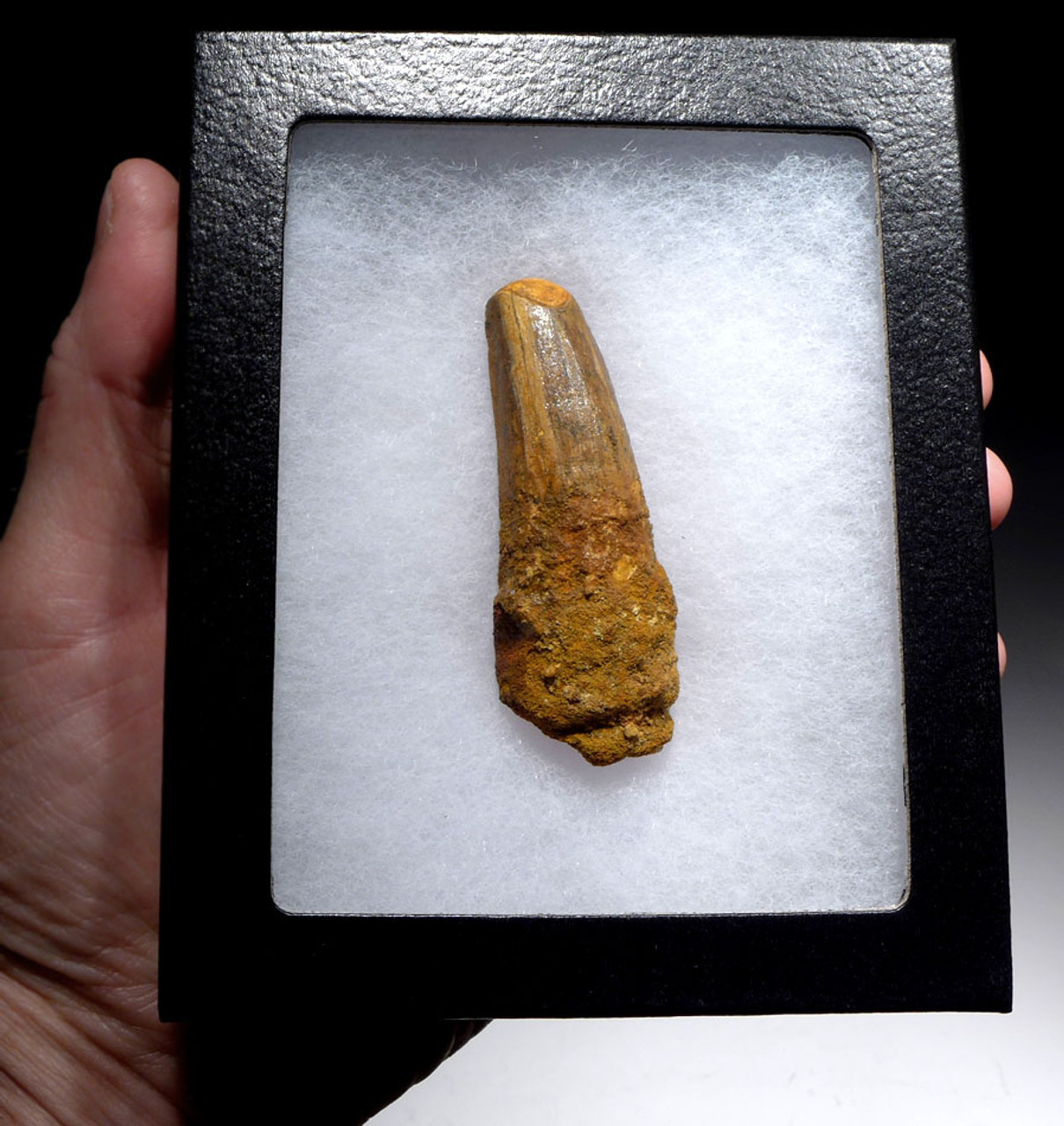 FINE QUALITY LARGE SPINOSAURUS 3.5 INCH DINOSAUR FOSSIL TOOTH *DT5-443